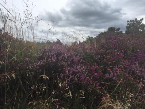 Heide in Derbyshire